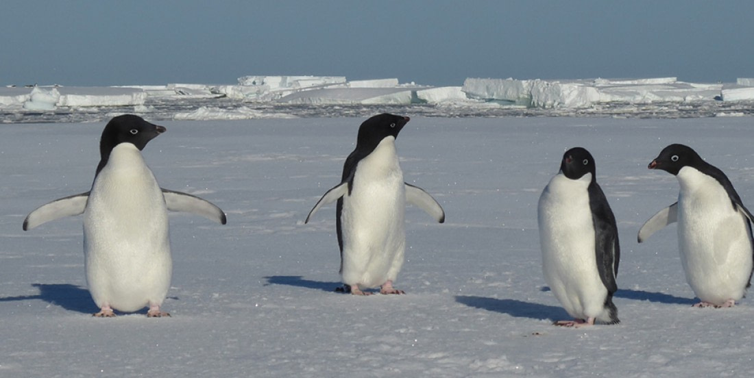 Four Adelie penguins standing on the snow
