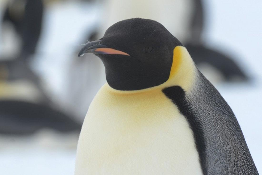 Emperor penguin up close