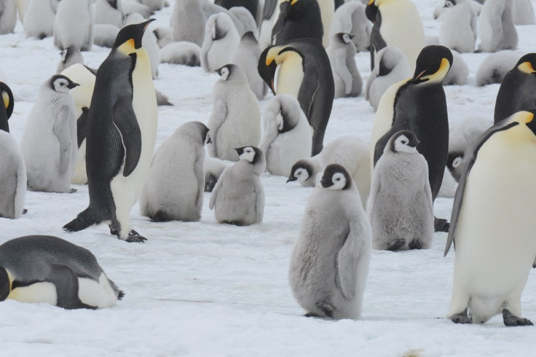 Adult Emperor penguins and Emperor chicks