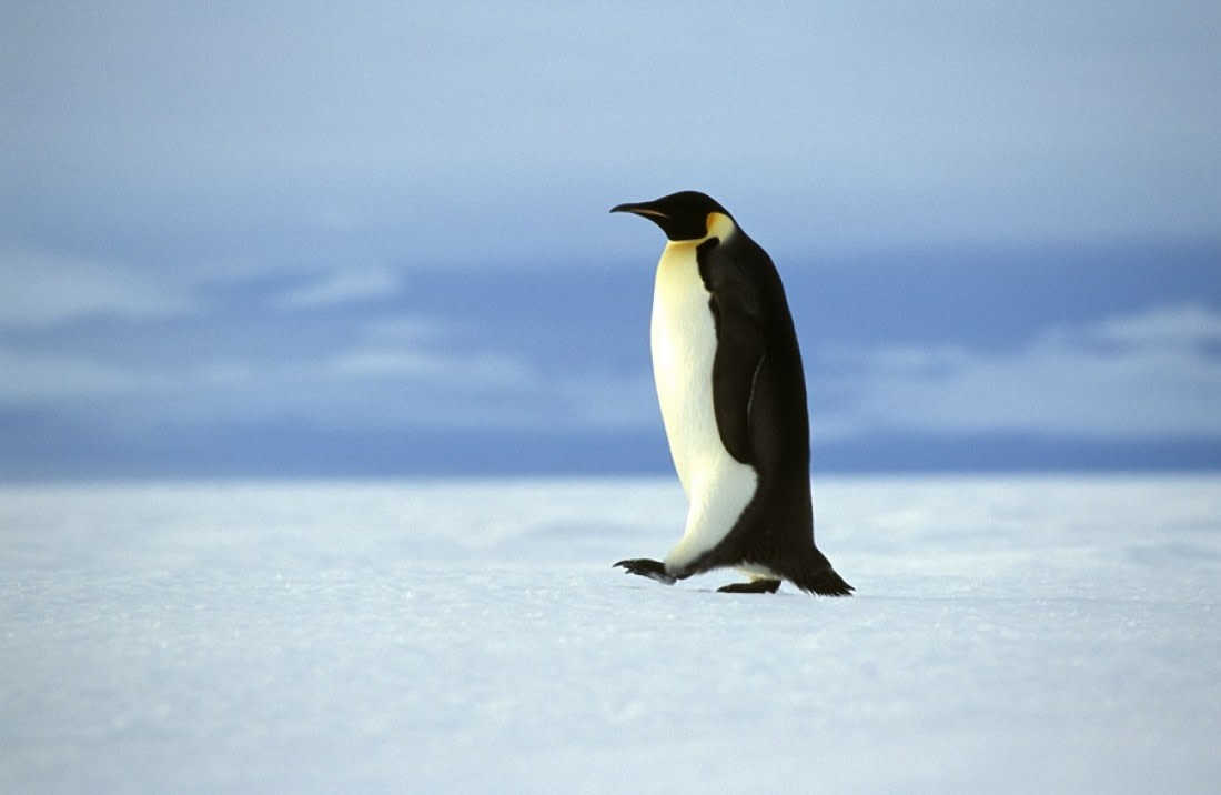 Walking Emperor penguin