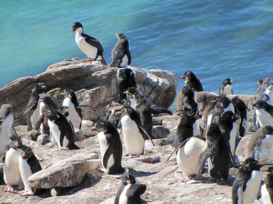 A group of Rockhopper penguins