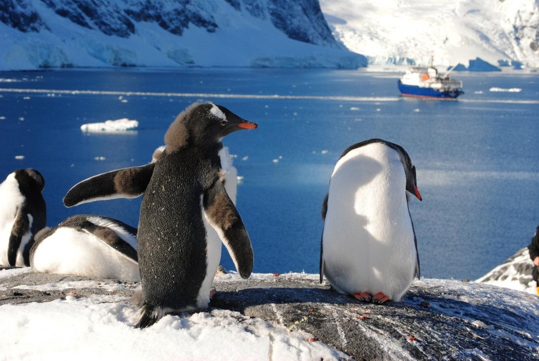 Gentoo penguins at Paradise Bay
