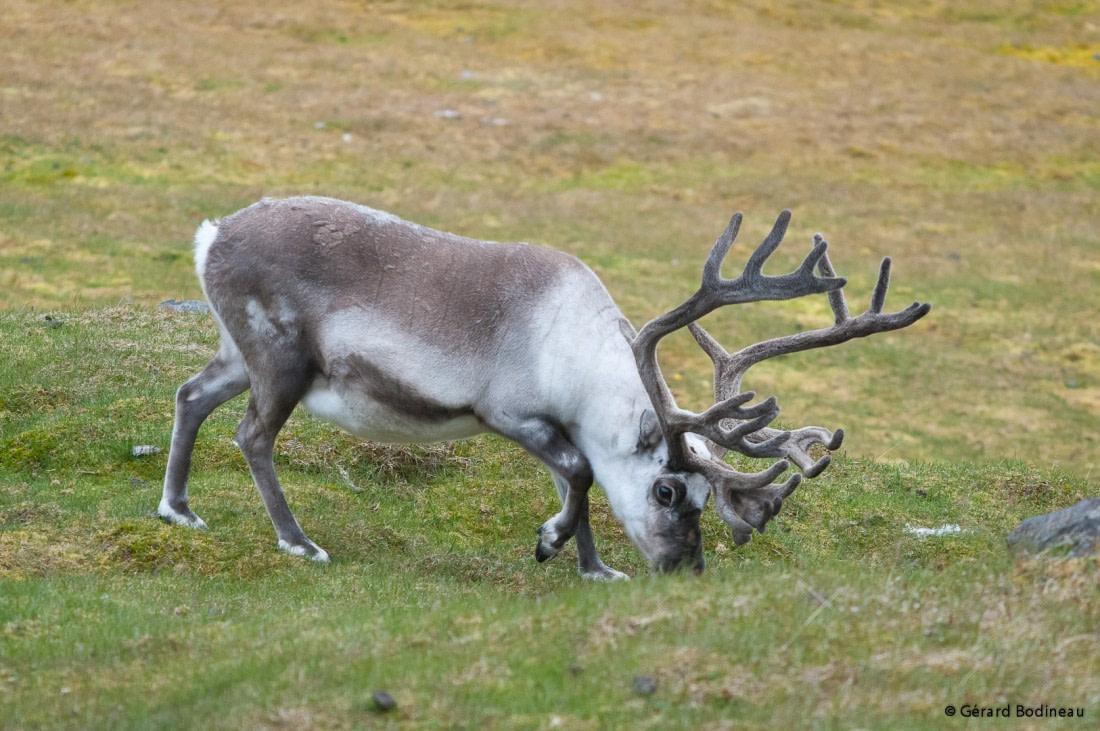 A reindeer grazing on Edgeøya