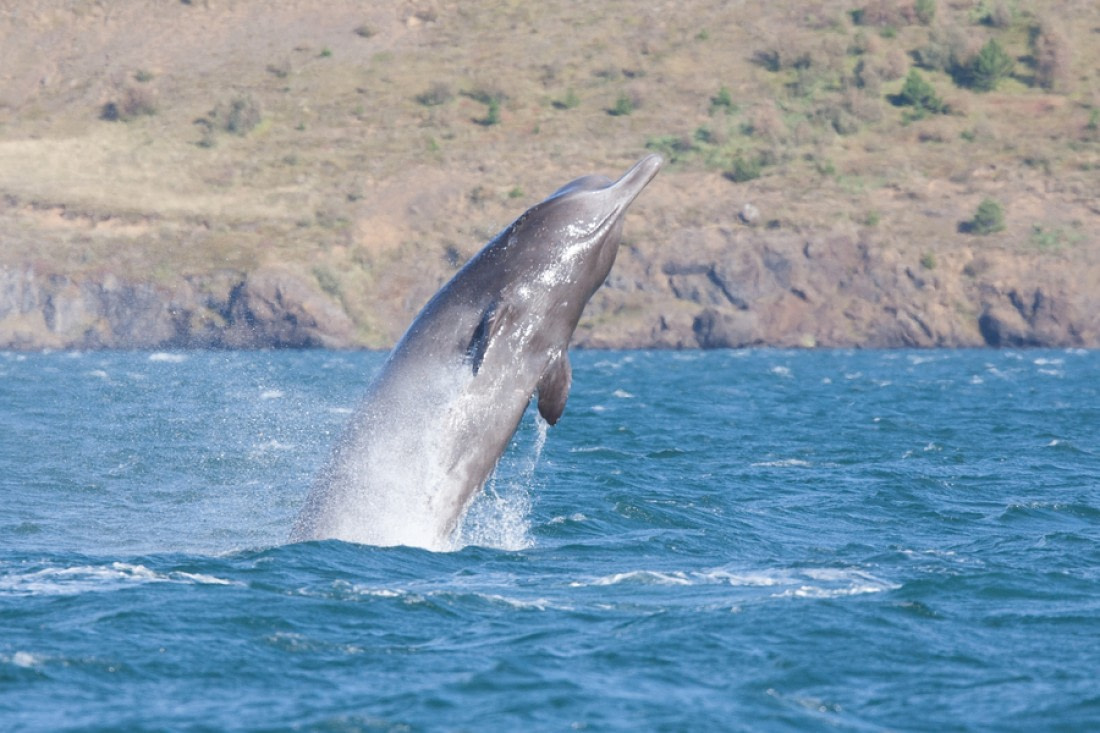 Breaching northern bottlenose whale