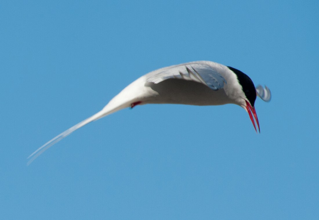 A flying Arctic tern