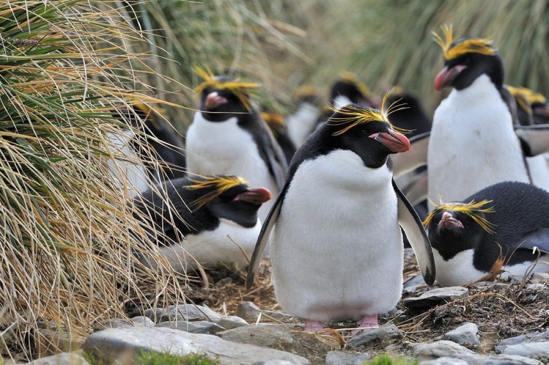 Macaroni penguins at Cobblers Cove, South Georgia