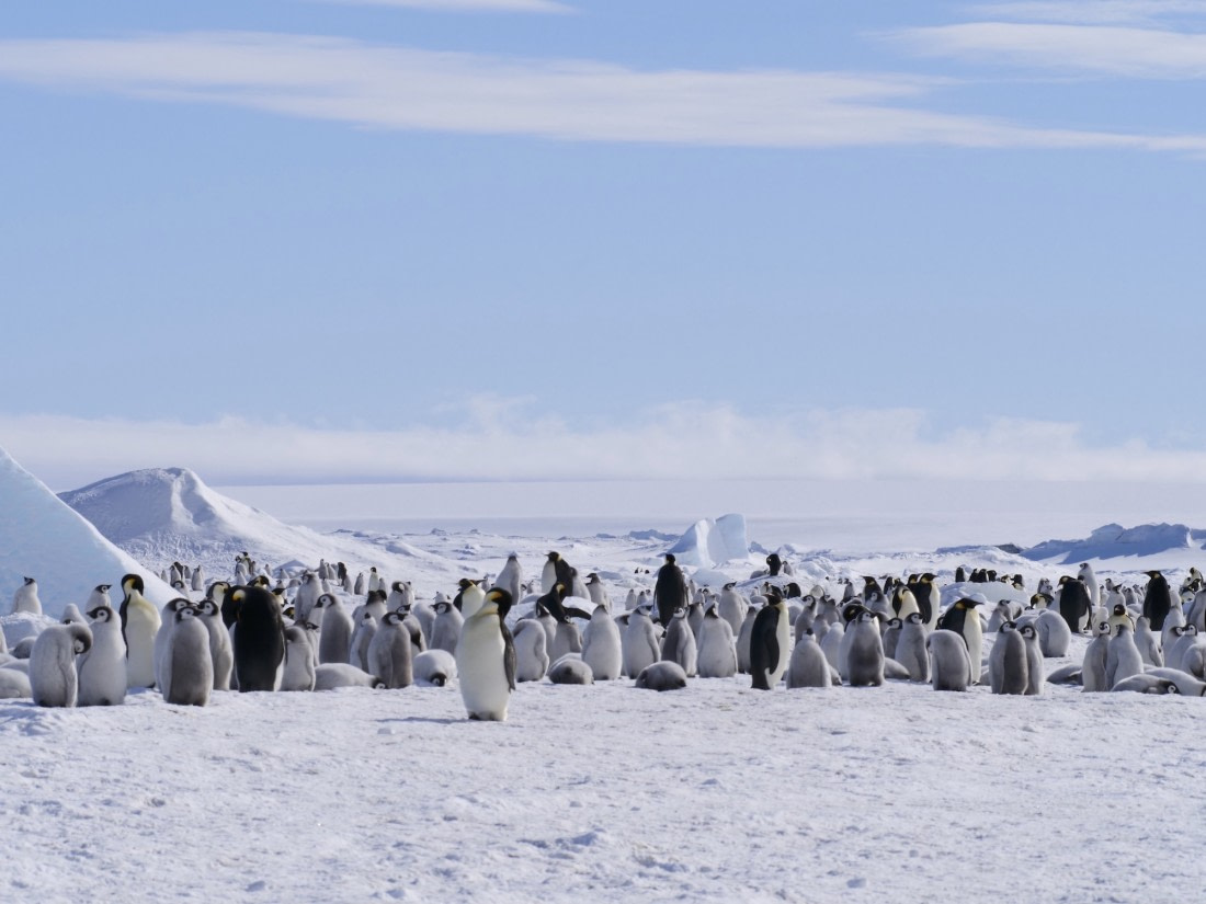 Emperor penguin colony with lots of adults and chicks