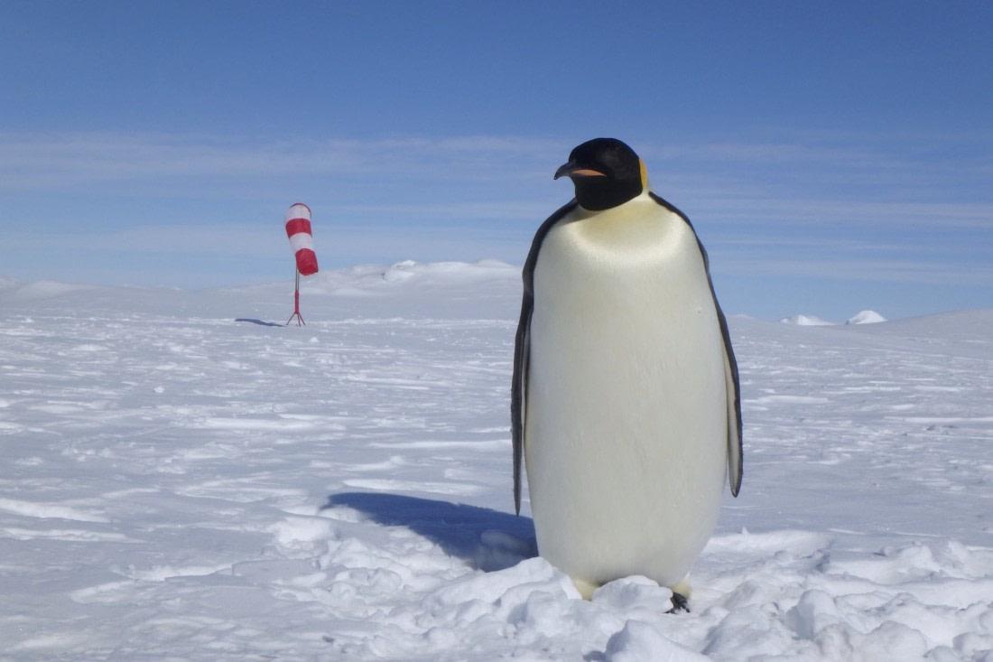 Adult Emperor penguin