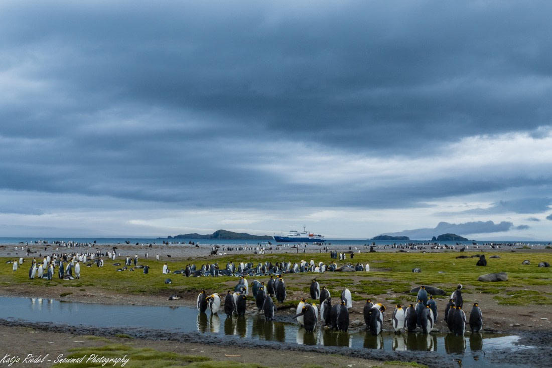 Picture of the King penguins at Salisbury Plain, South Georgia
