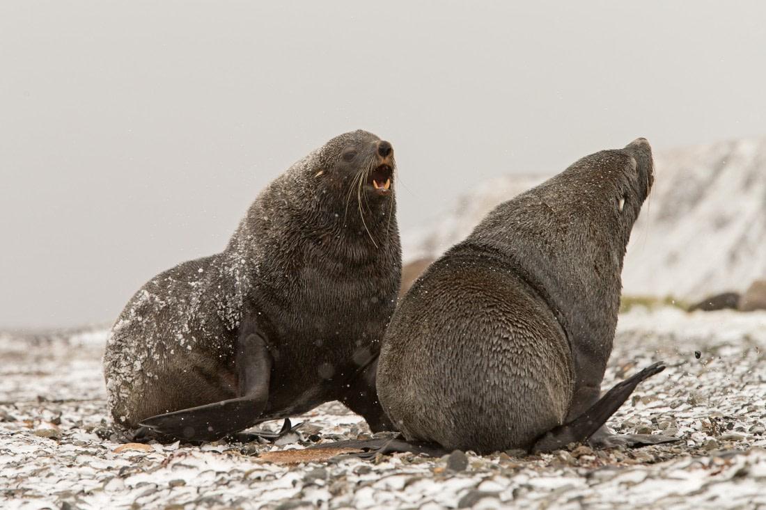 Antarctic fur seals at Grytviken