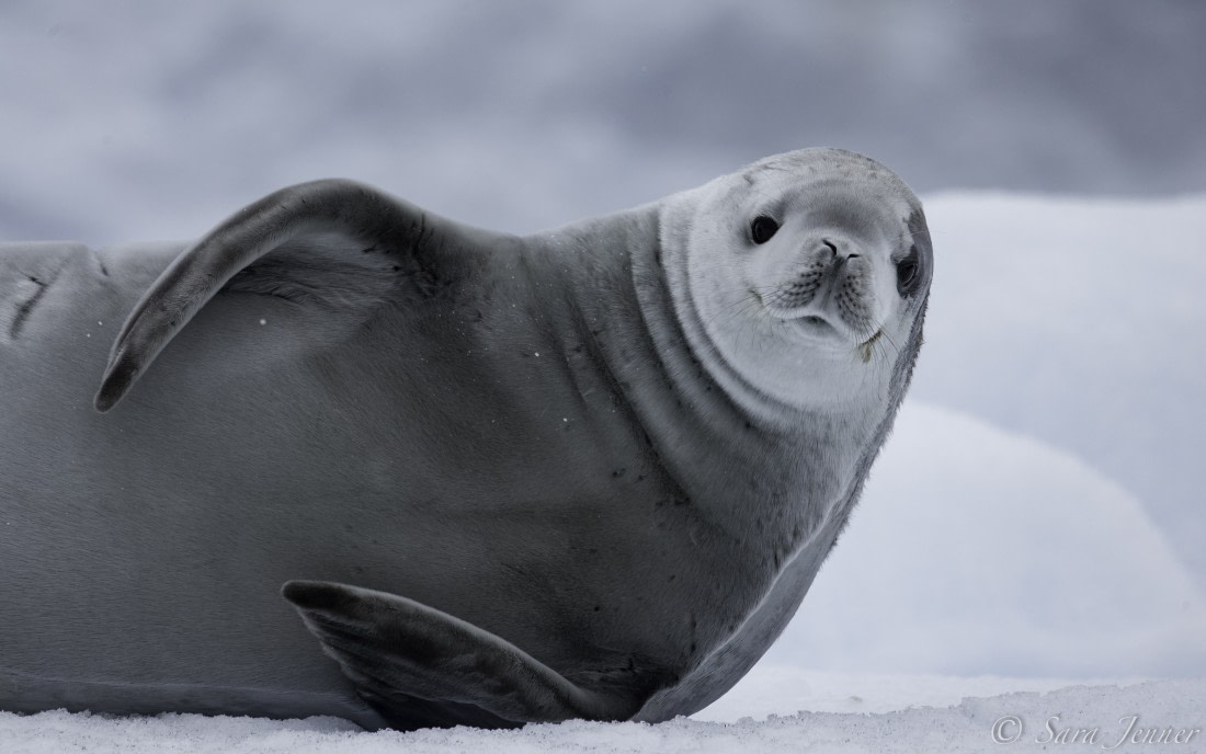 Crabeater seal lounging on the ice