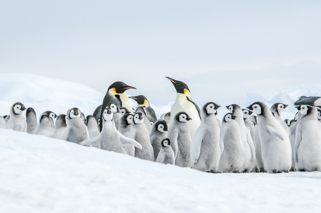 Adult Emperor penguins and lots of Emperor penguin chicks