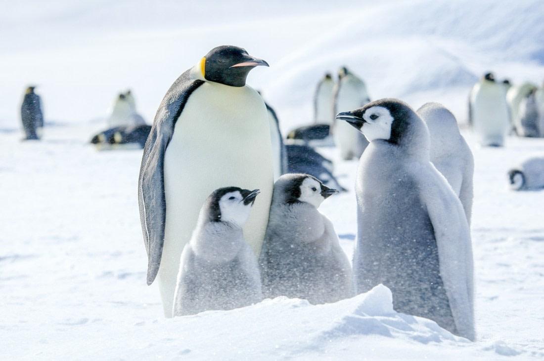 Emperor penguin with Emperor penguin chicks