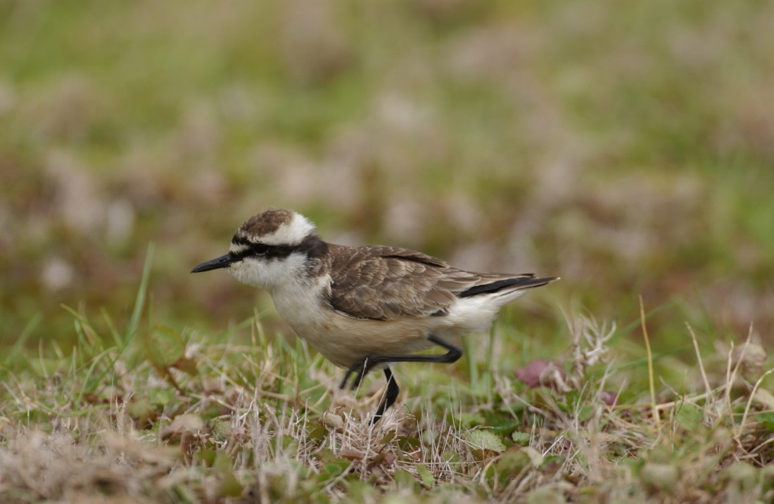 Watching the St. Helena plover aka wirebird