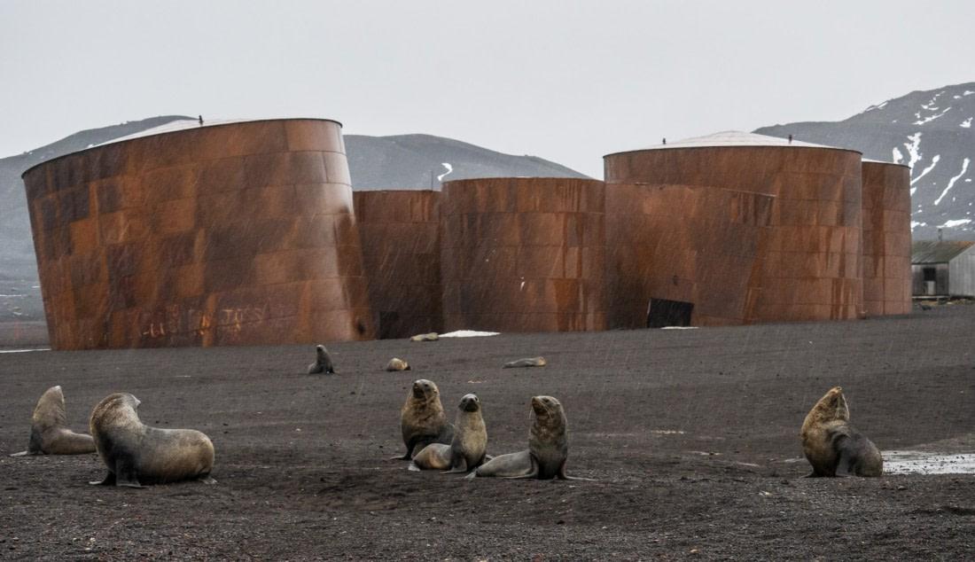 Fur seals on Deception Island