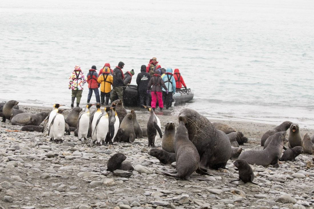 King penguins and fur seals at Fortuna Bay, South Georgia