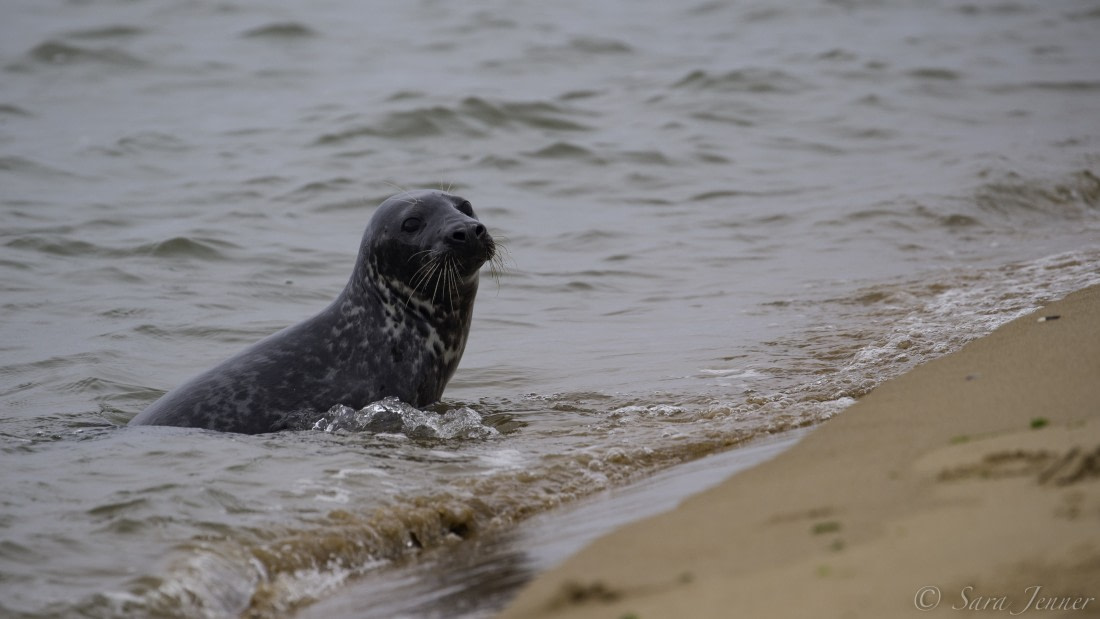 A grey seal in the water