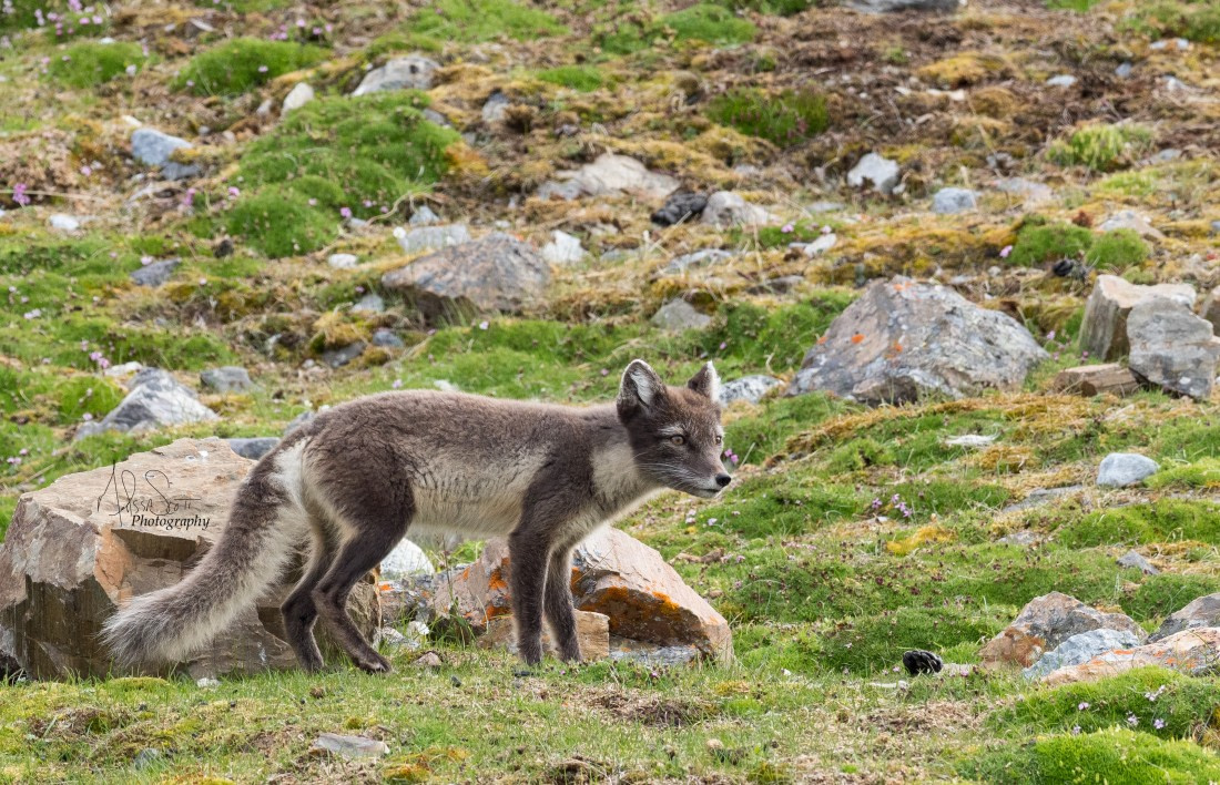 An Arctic fox in its summer appearance