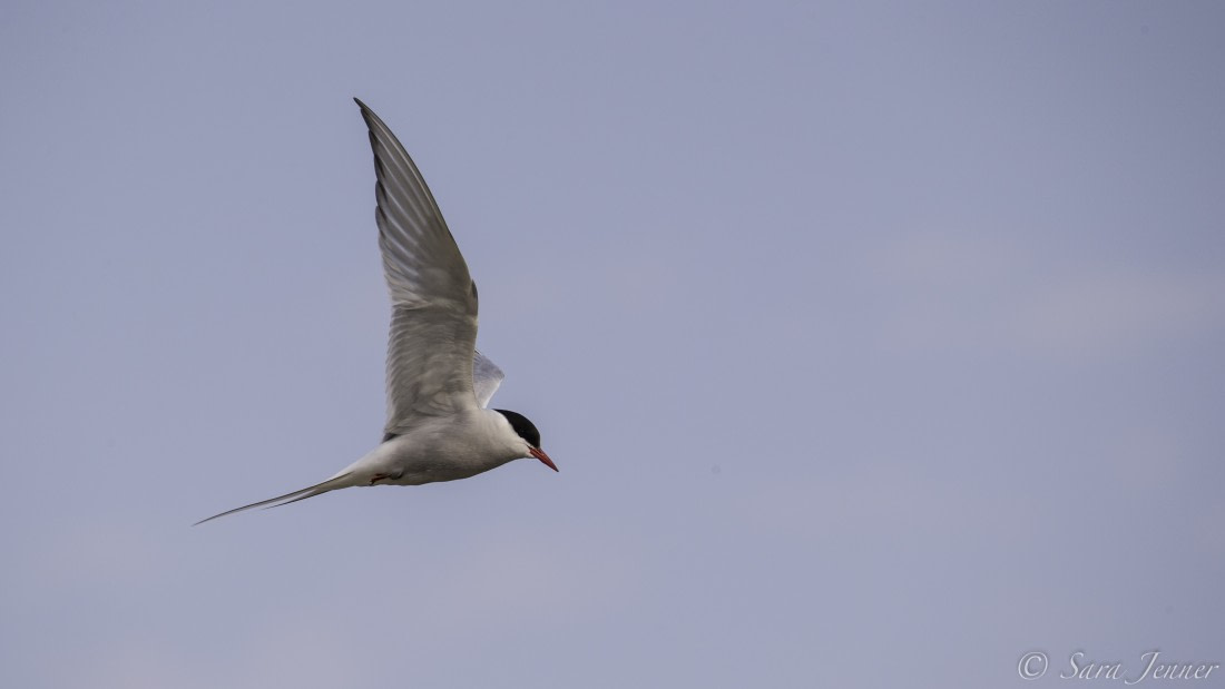 An Arctic tern flying in Svalbard