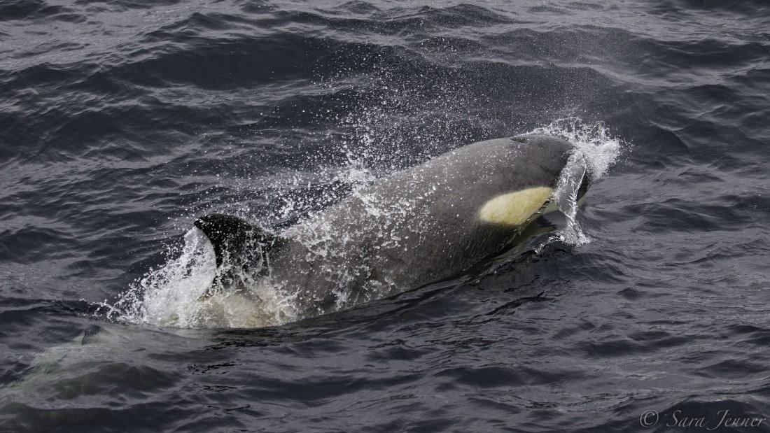 Orca swimming in Antarctica