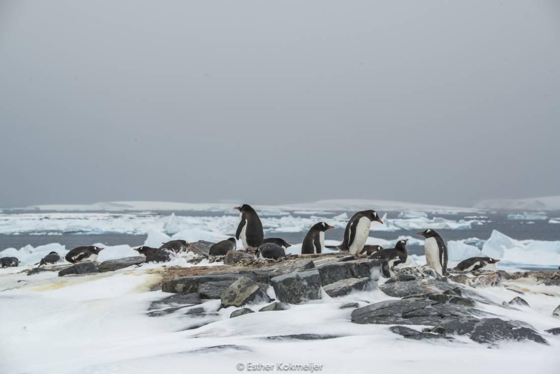 Gentoo penguins at Pléneau Island