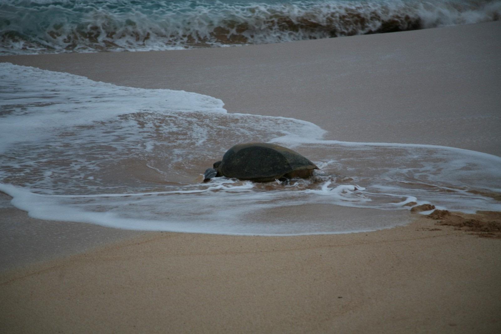 Suppenschildkröten von Ascension