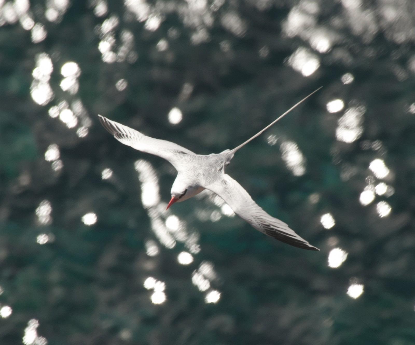 Bird species on St. Helena