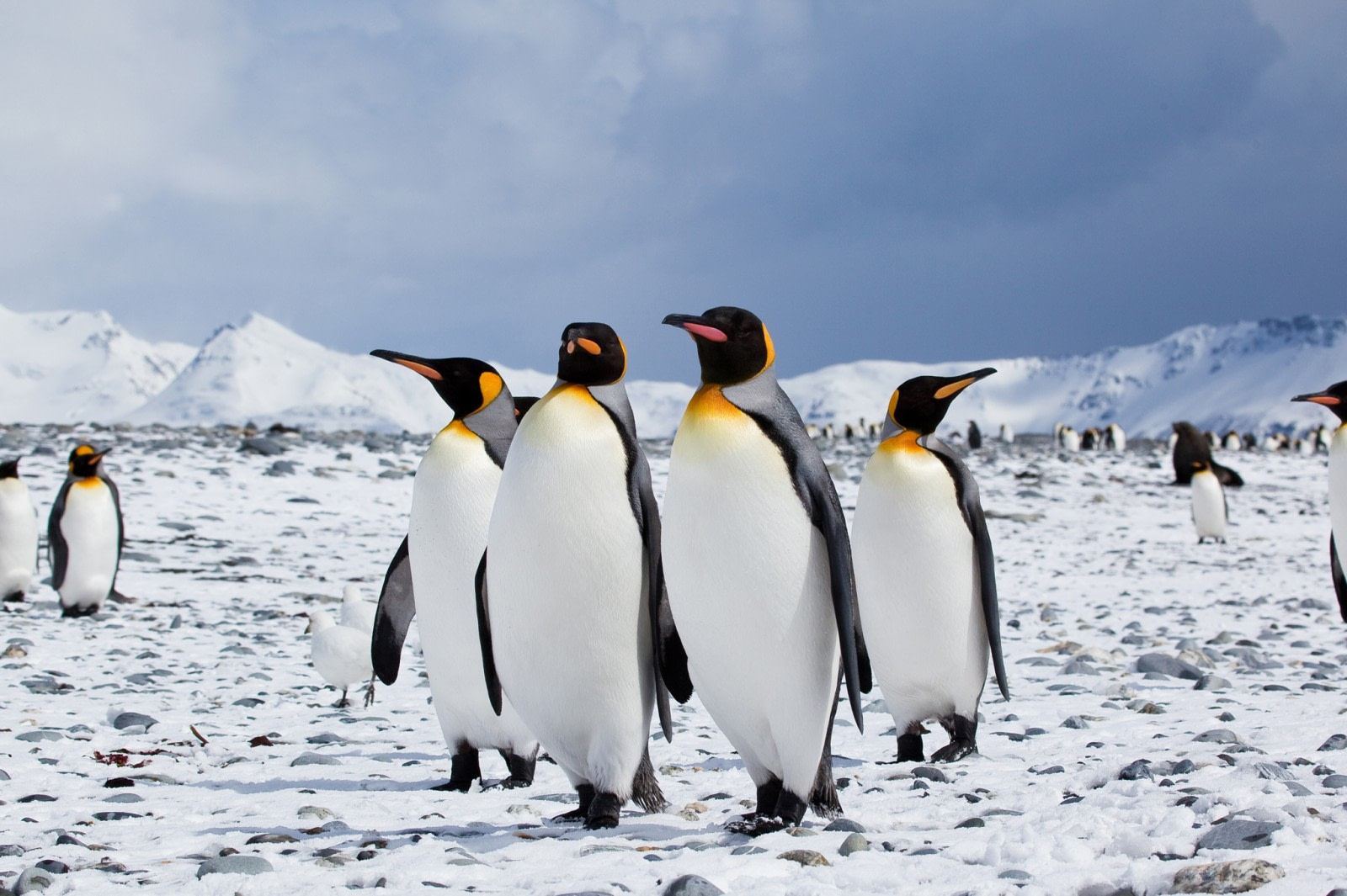 King Penguin | Facts, pictures & more about King Penguin