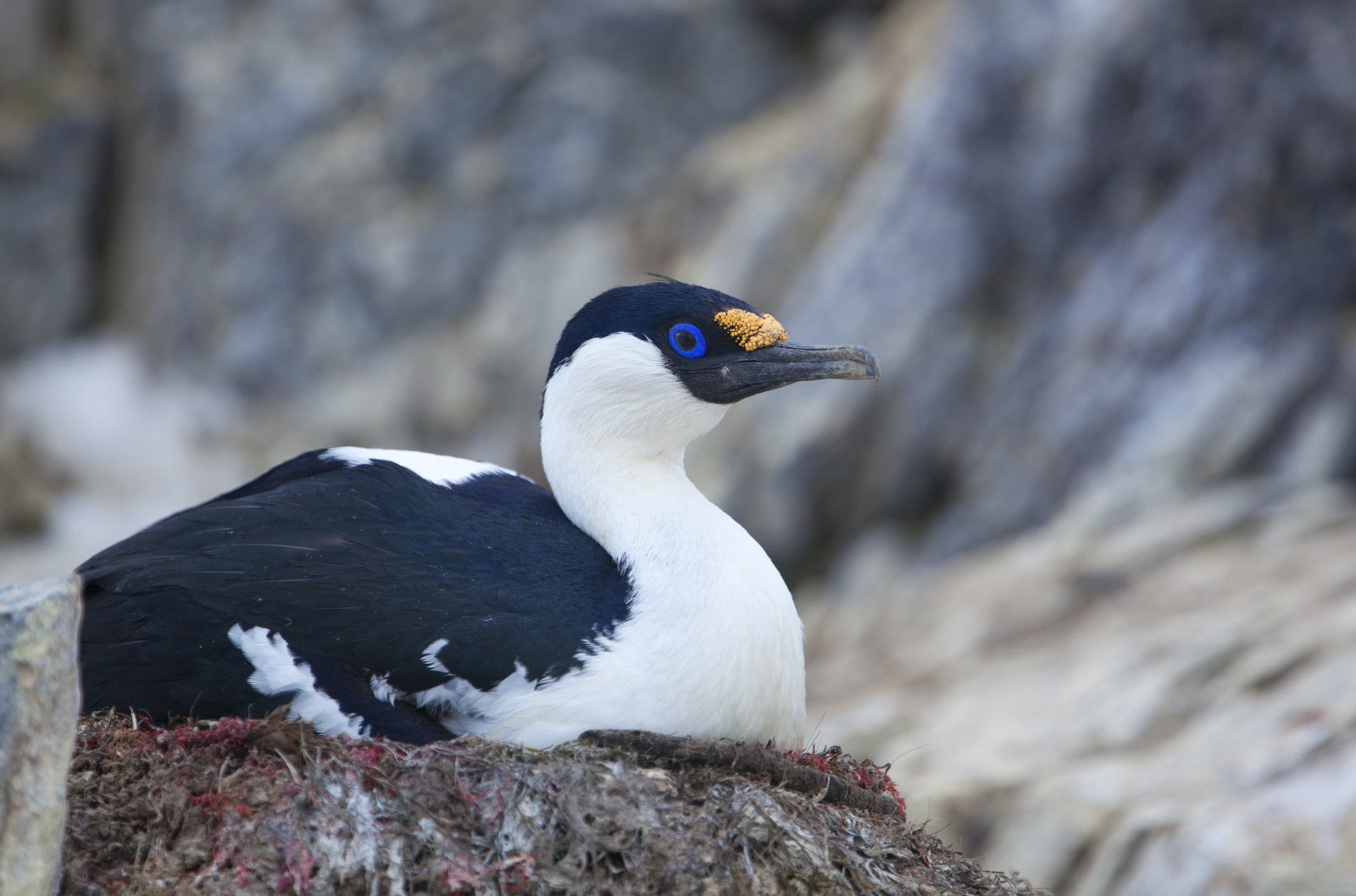 Blue-eyed shag