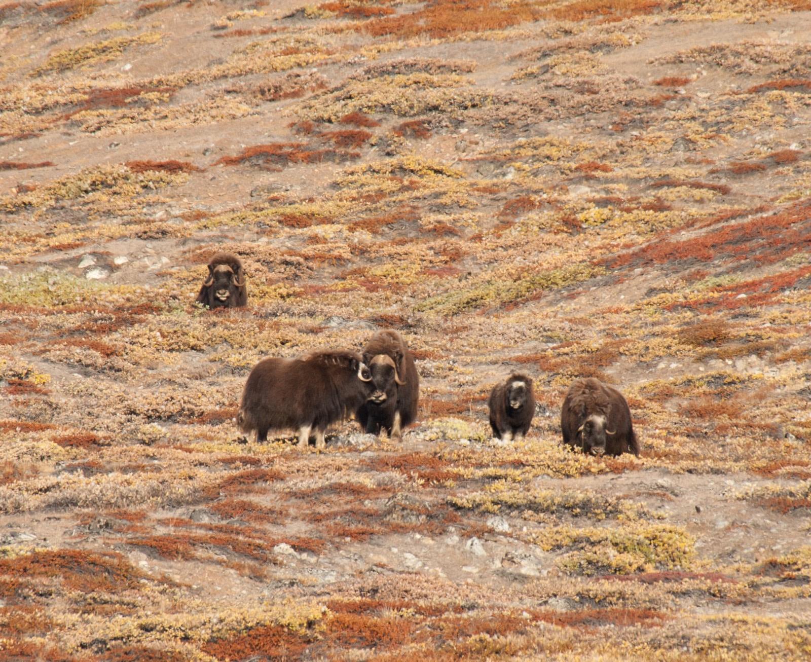 Die Tierwelt Grönlands