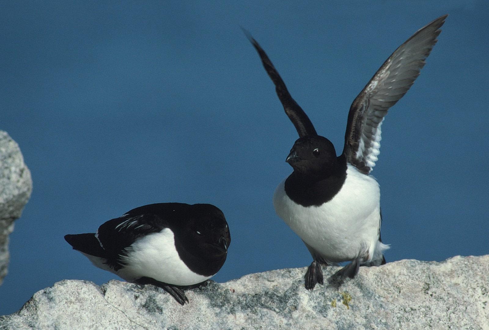 The Birds of Jan Mayen