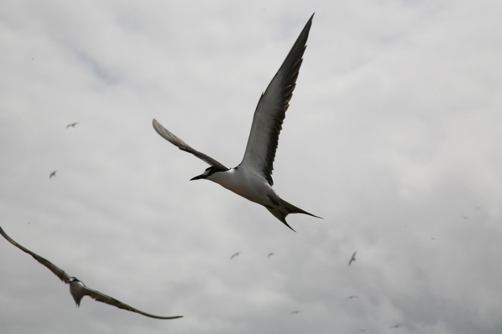 Sooty Terns on Ascension