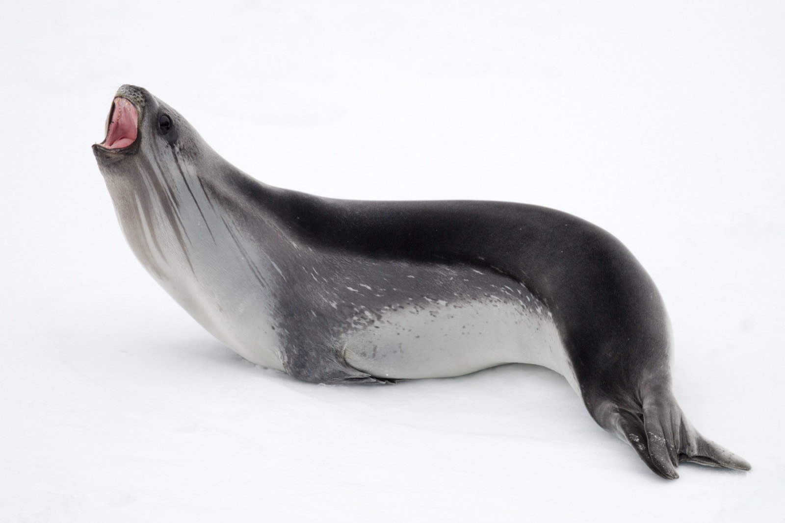 The Ross Seal, Ross Sea