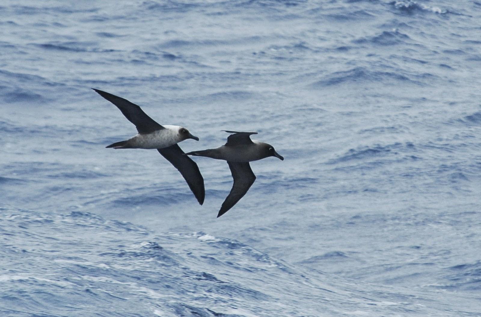 Albatros manto claro