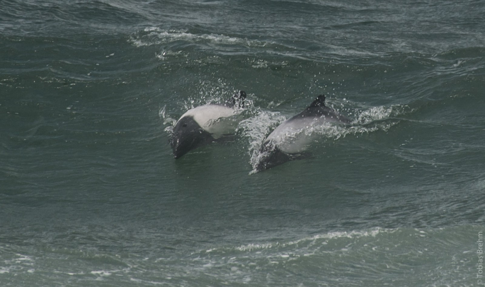 Commerson-Delfin