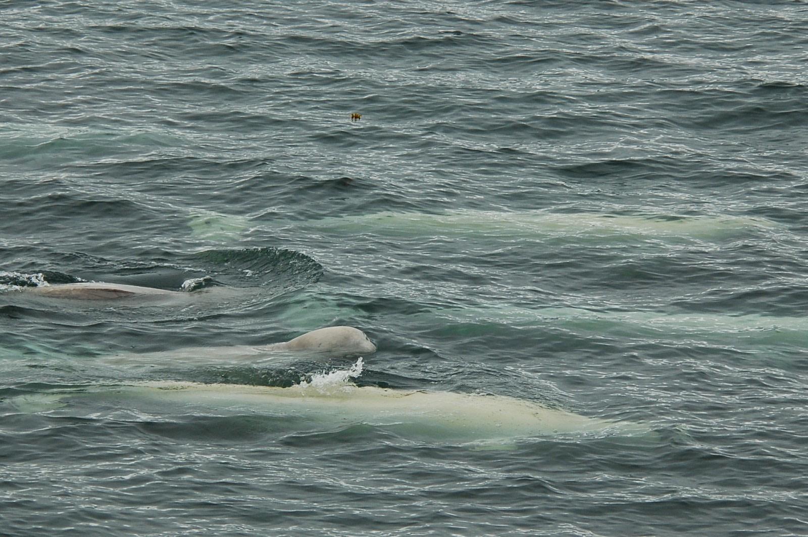Spitsbergen, Beluga Whales, July © Elke Lindner-Oceanwide Expeditions (1)