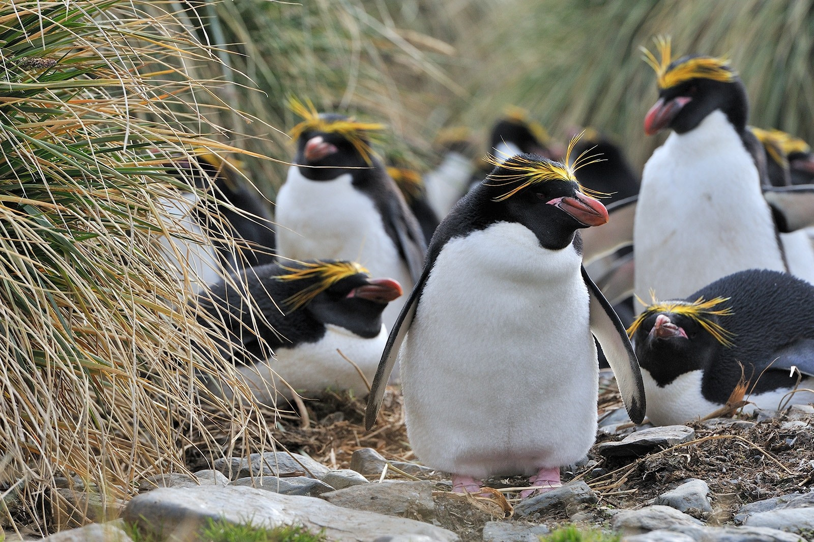 Macaroni Penguins, South Georgia © Martin van Lokven-Oceanwide Expeditions (5).jpg
