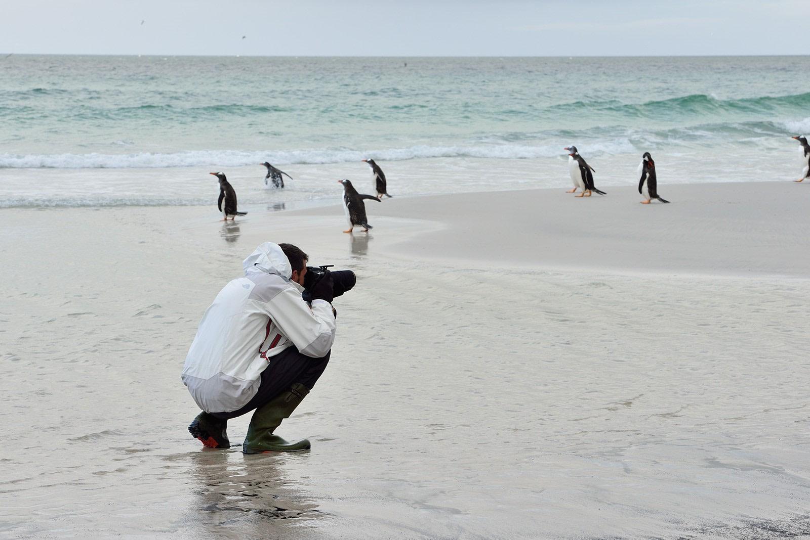 Gentoos on Saunders Isl-Falkland Isl_Nov © Martin van Lokven-Oceanwide Expedition (2).jpg
