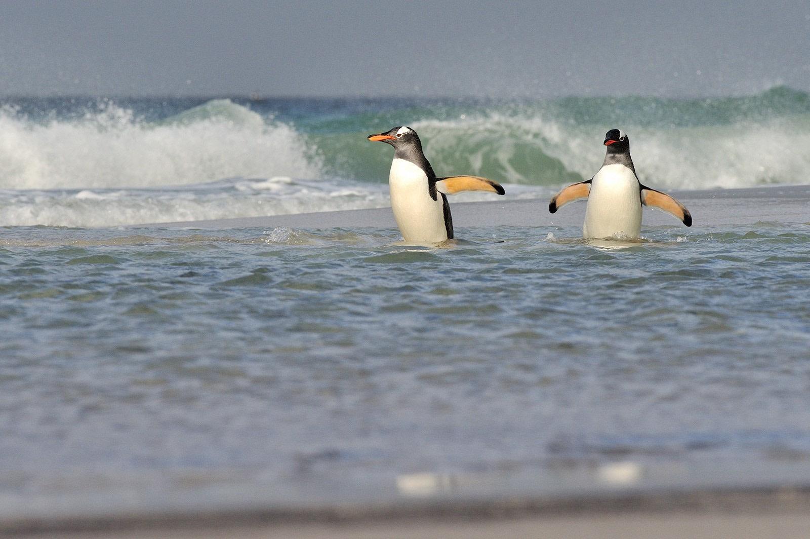 Gentoo on Saunders Isl-Falkland Isl_Nov © Martin van Lokven-Oceanwide Expedition (11).jpg