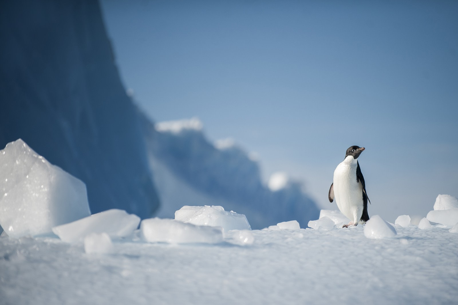 Adelie Penguin © Unknown Photographer - Oceanwide Expeditions.jpg