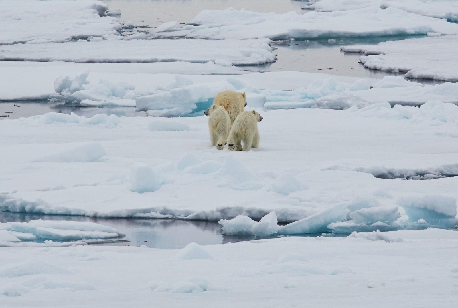 North Spitsbergen Polar Bear Special, June © Markus Eichenberger-Oceanwide Expeditions (60).jpg