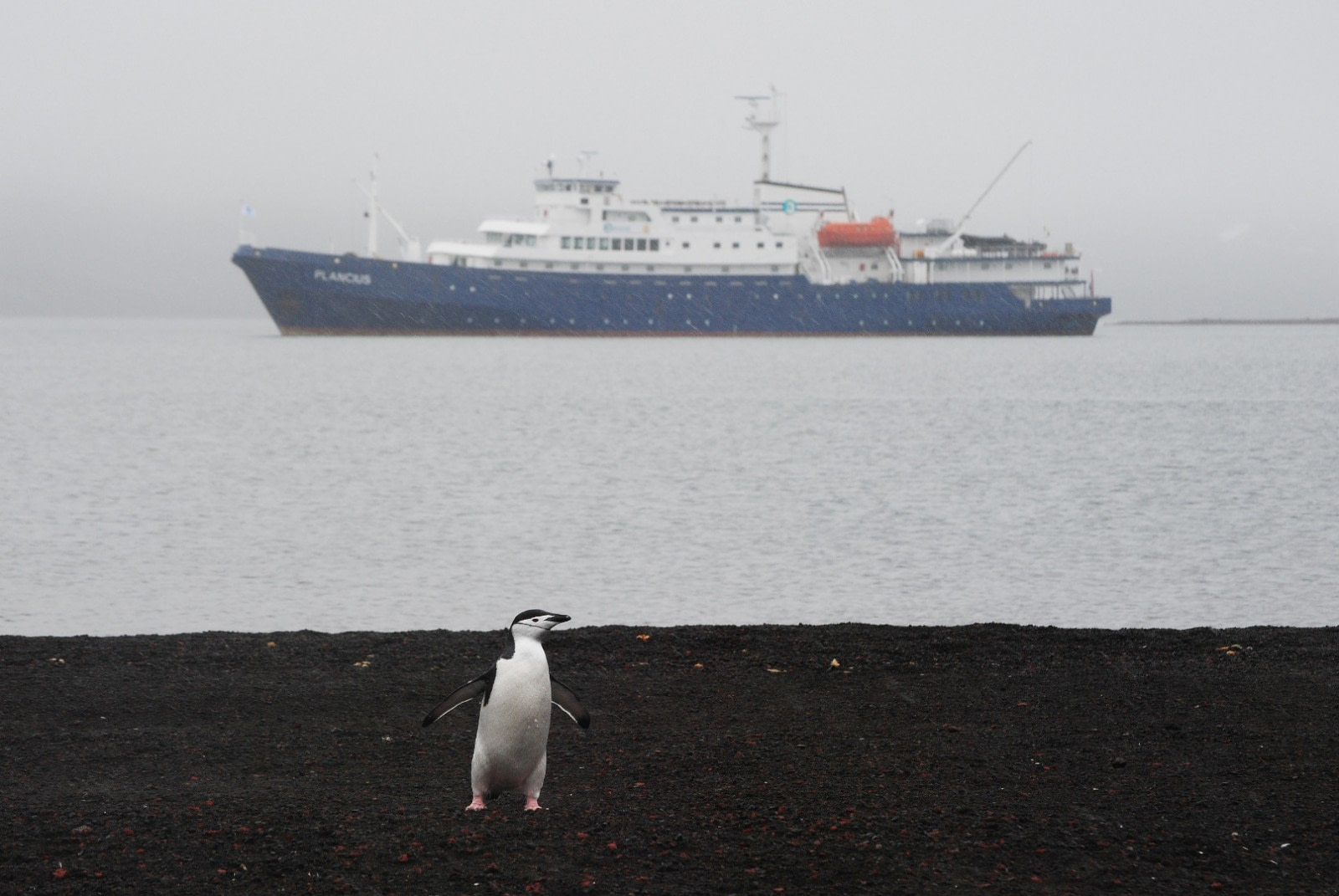 Chinstrap penguin with Plancius at Deception Island