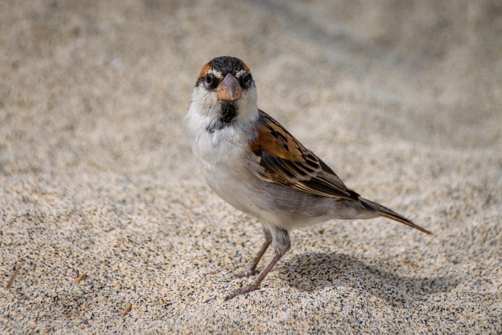 Endemische Vogelarten auf den Kapverden