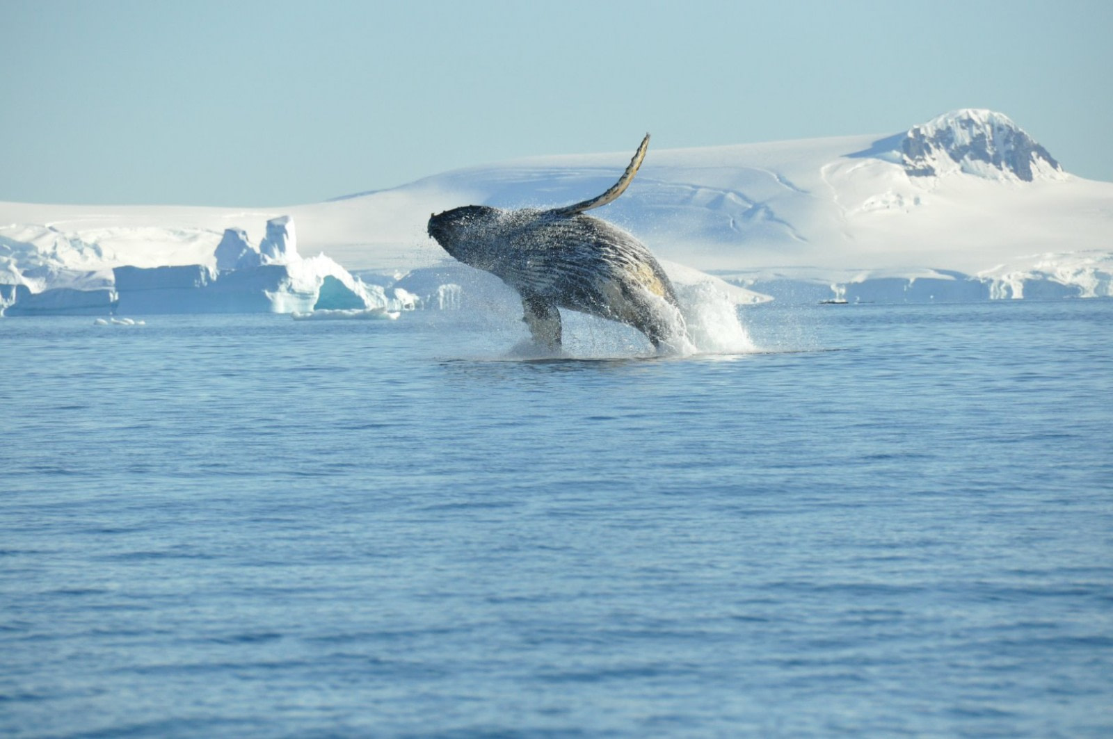 Humpback whale, breaching, Antarctica © Nicolo de Cata-Oceanwide Expeditions.jpg