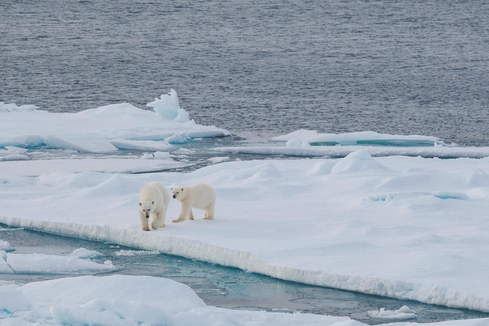 Polar bears on the pack © Frances Draskau - Oceanwide Expeditions