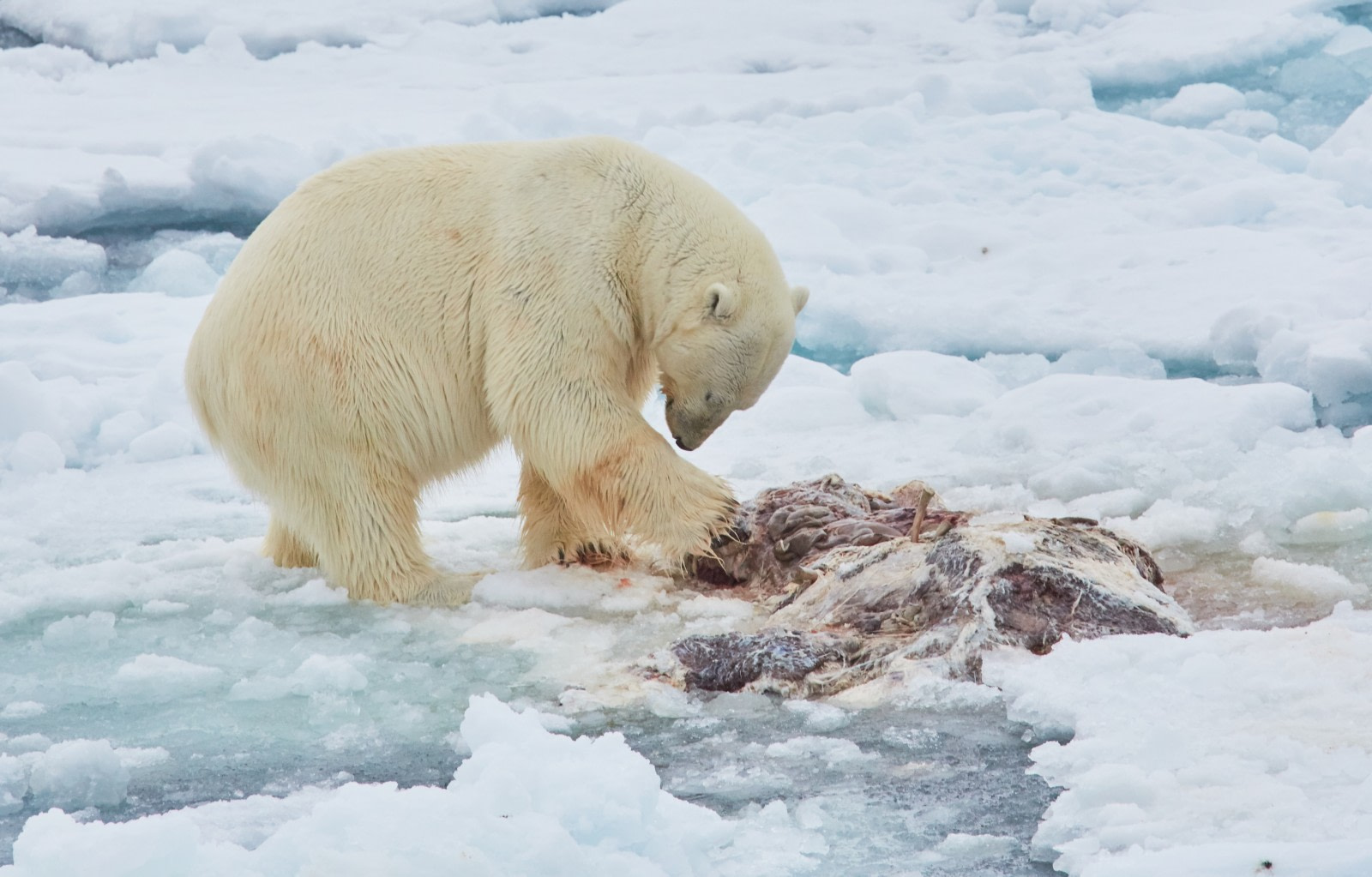 North Spitsbergen Polar Bear Special, June © Markus Eichenberger-Oceanwide Expeditions (38).jpg