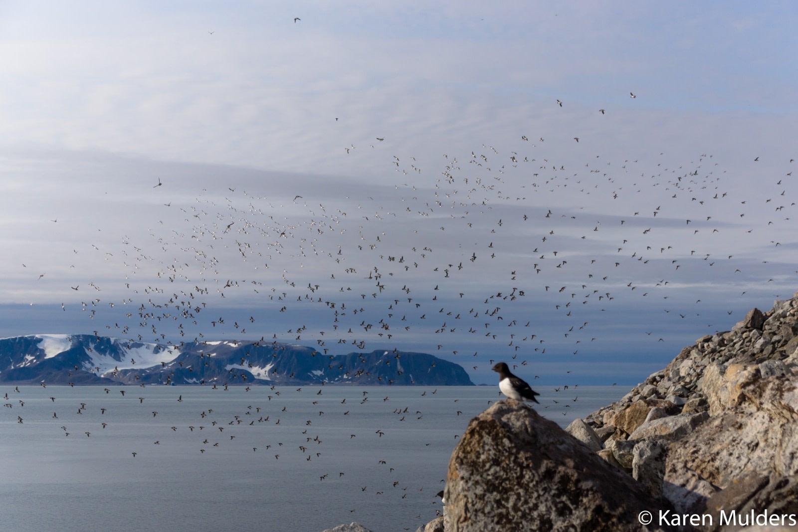 Fuglesangen Little Auk colony © Karen Mulders - Oceanwide Expeditions