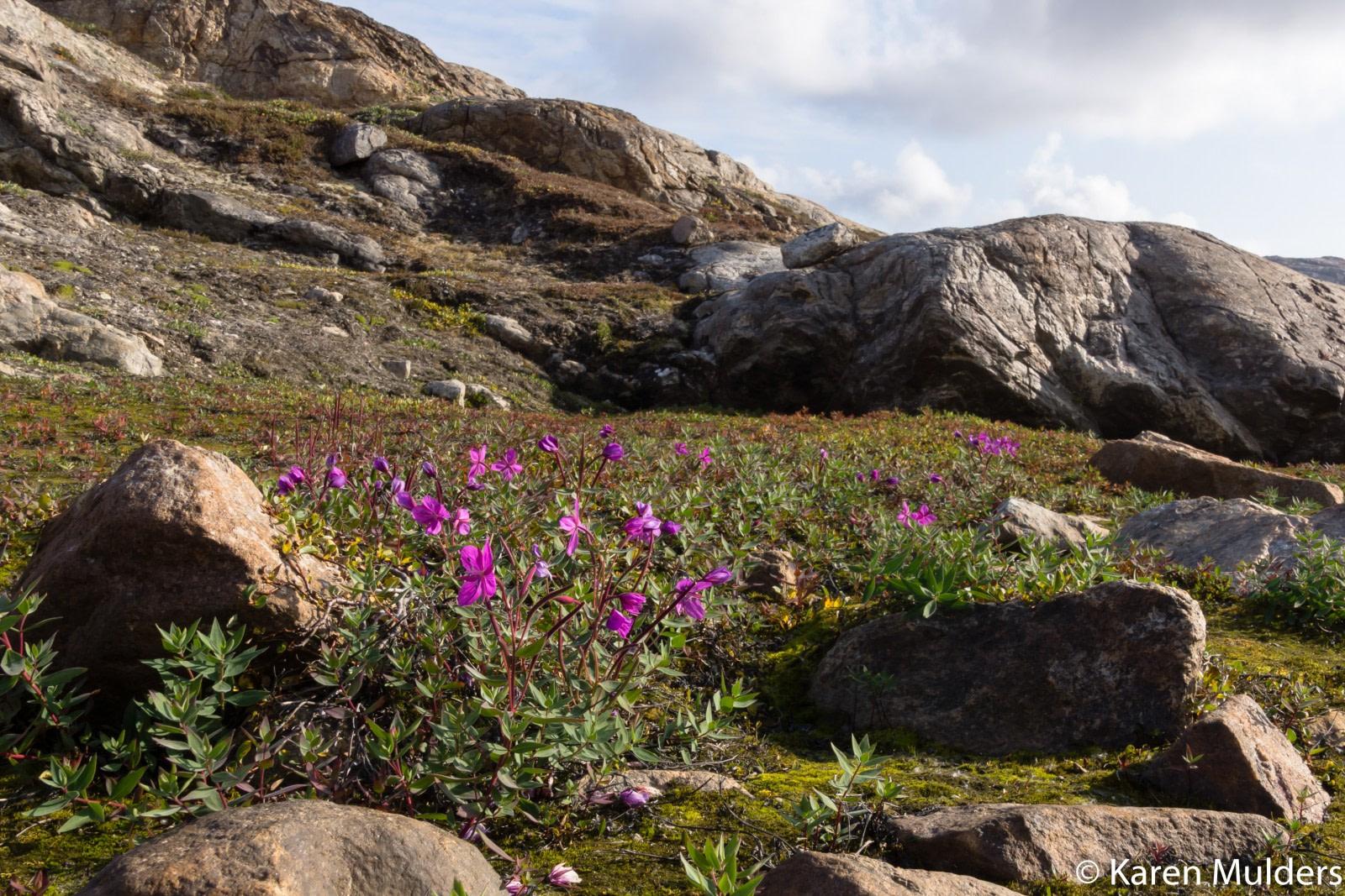©KM2019 NE Greenland Scoresby Sund Milneland Niviarsiaq flower Niviarsiaq (Chamaenerion latifolium - Dwarf Fireweed).jpg