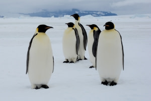 In Search for the Emperor Penguin