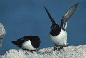The Birds of Jan Mayen